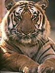 tiger_in