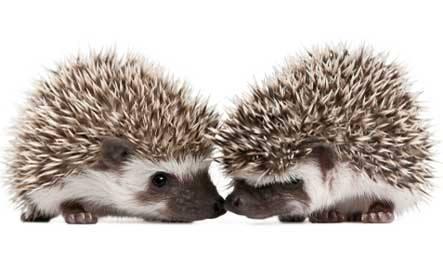 porcupines dancing